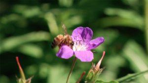 api copia